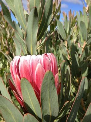 Protea | Protea Plants | Protea Plant | Protea Bot River Red | Protea Flower