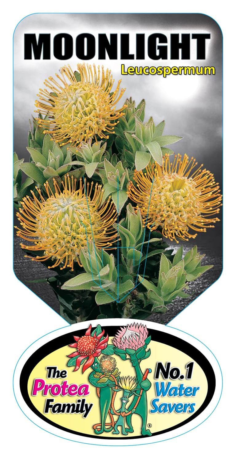 Leucospermum, Pincushion Protea,Leucospermum Moonlight Label