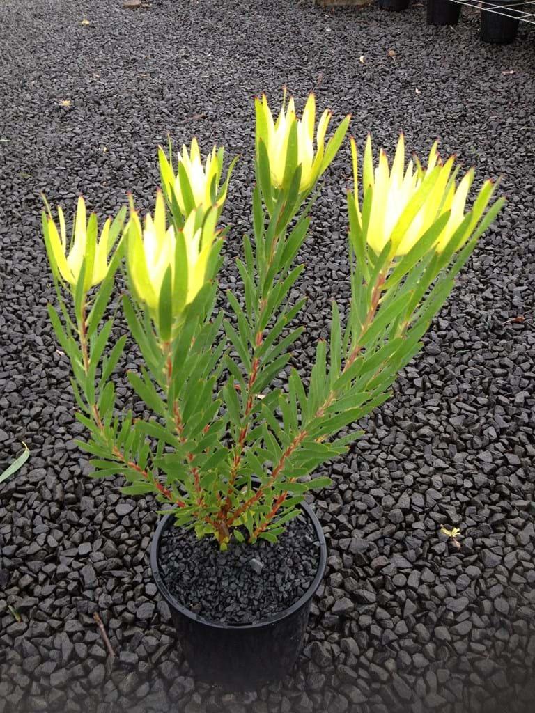 Leucadendron Ausflora Pacific Leucadendron Golden Mitre