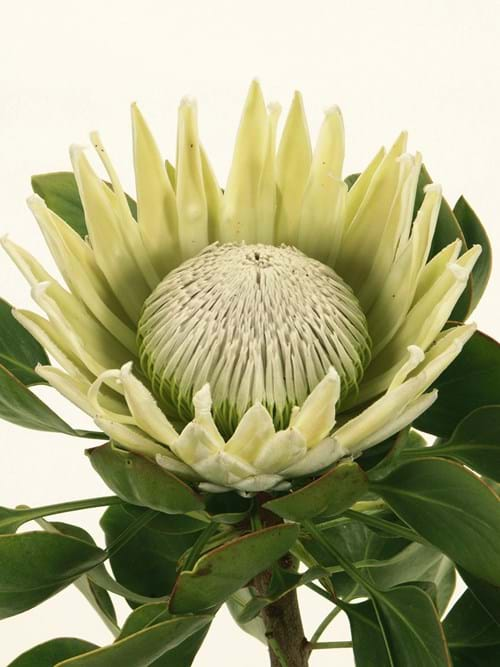 Protea White King