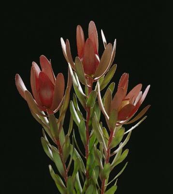 Leucadendron Safari Sunset | Leucadendron | Safari Sunset | Proteaceae | Protea Plants | Leucadendron plants